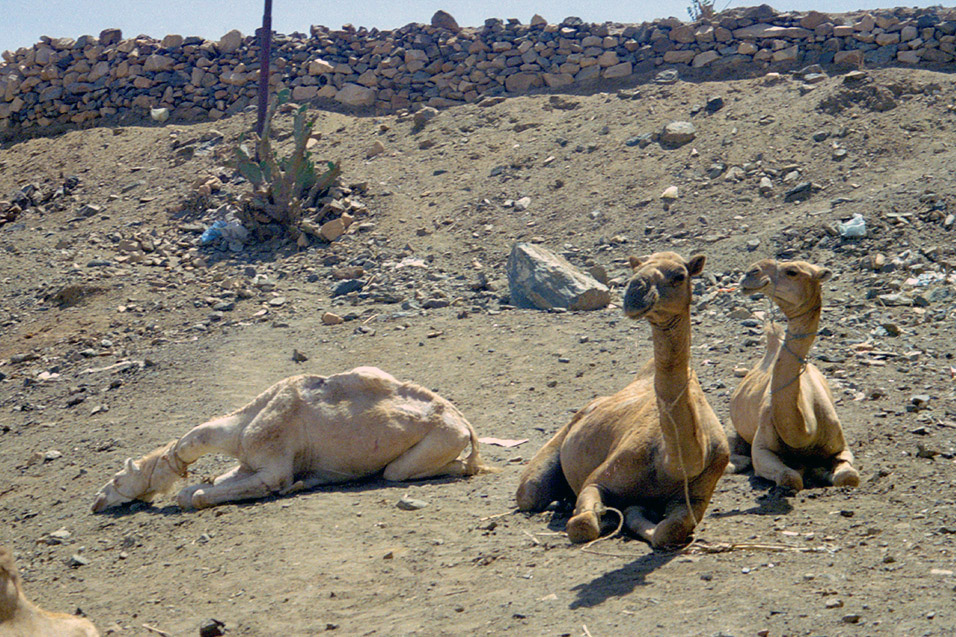 eritrea/karen_animal_market_camel_miserable