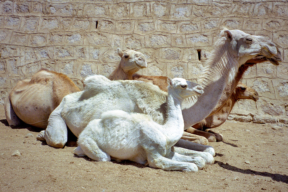 eritrea/karen_animal_market_three_camels