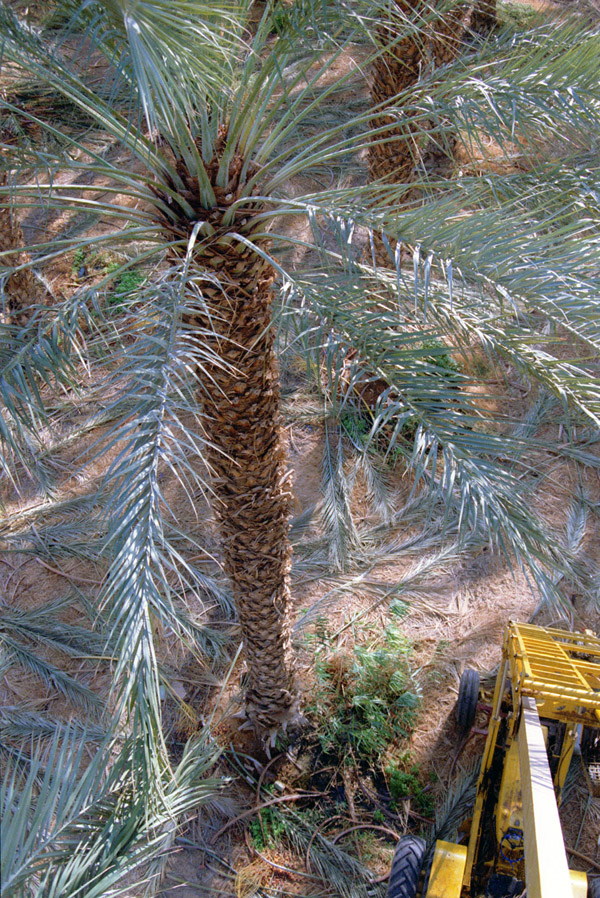 israel/date_palm_looking_down