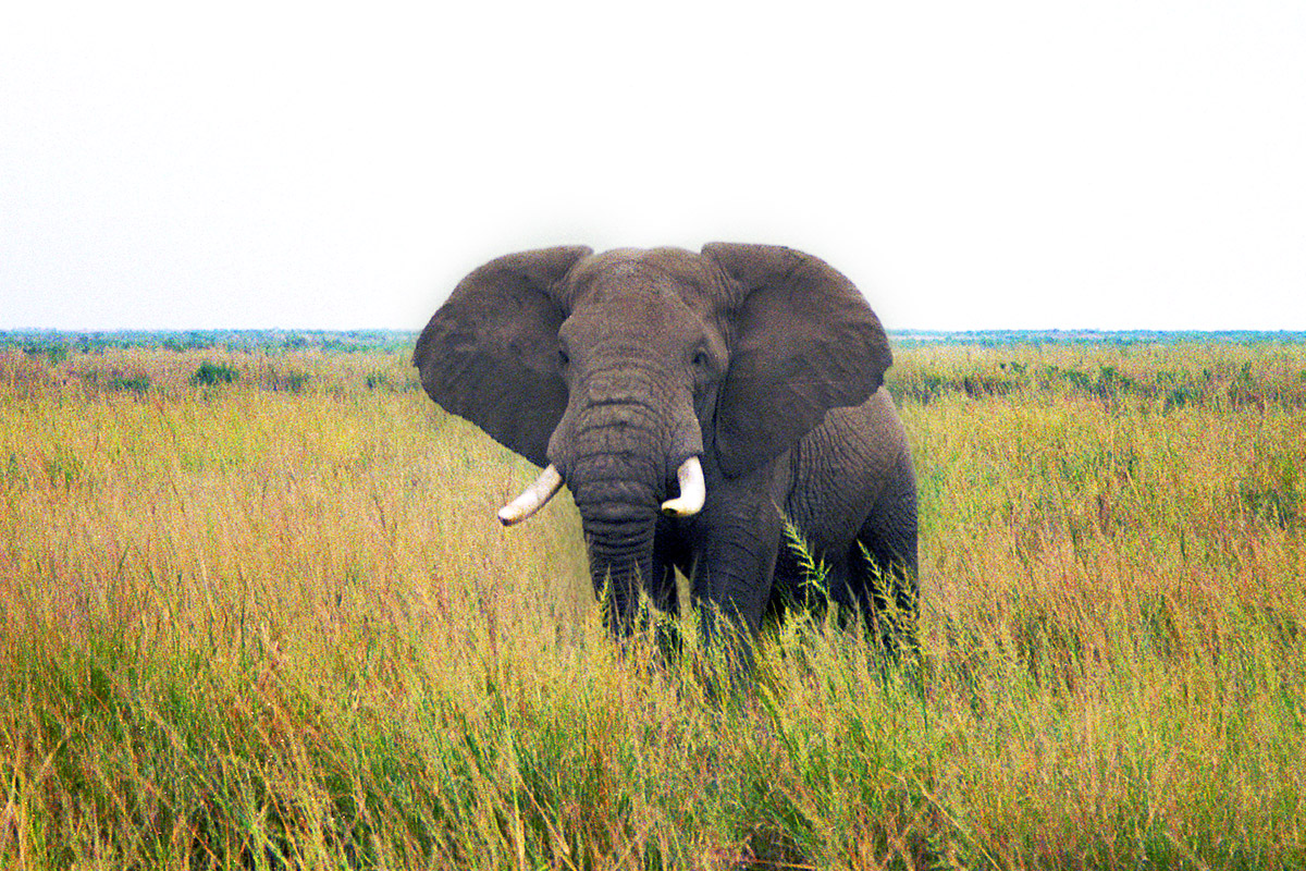 kenya/amboseli_elephant_solo_head_on
