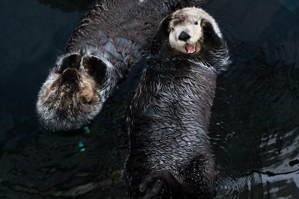 portugal/lisbon_oceanarium_sea_otters_happy