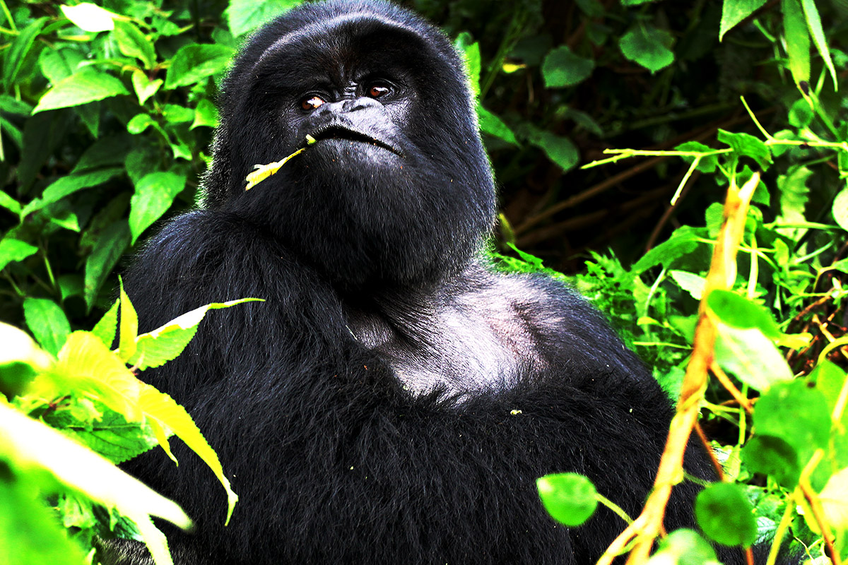 rwanda/gor_close_eating_looking_away