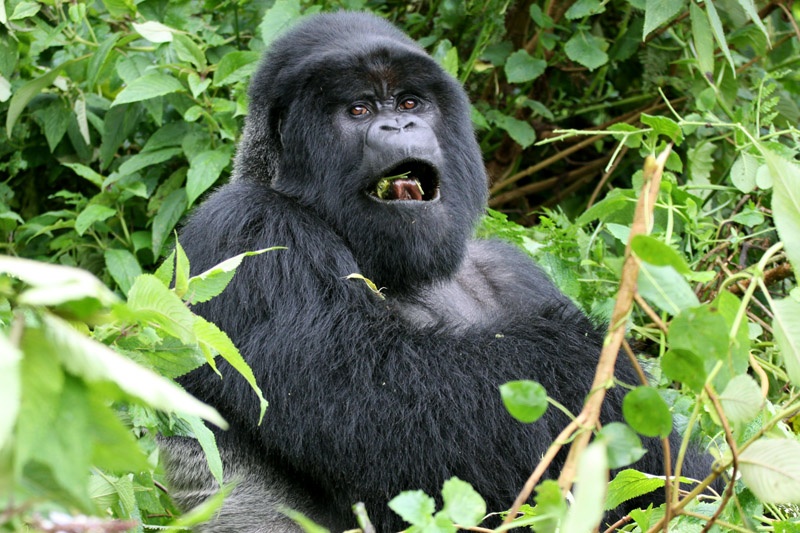 rwanda/gor_silveback_eating_close