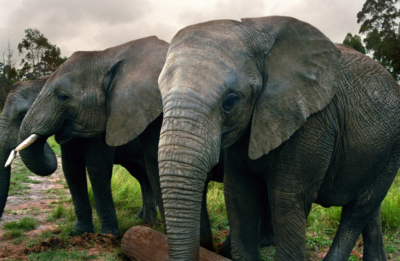 south_africa/elephants_three