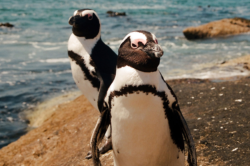 south_africa/penguin_close_up_vertical_5