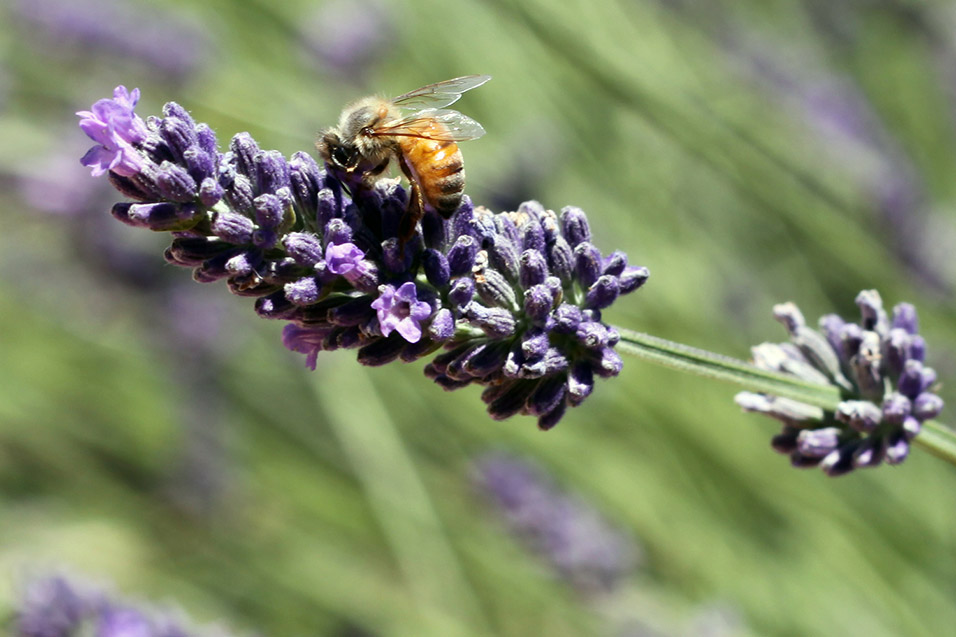 usa/california/lavendar_bee