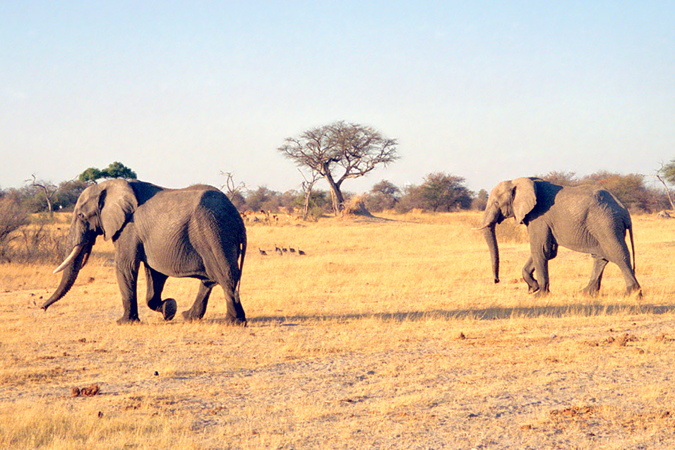 zimbabwe/hwange_elephants_walking_nice