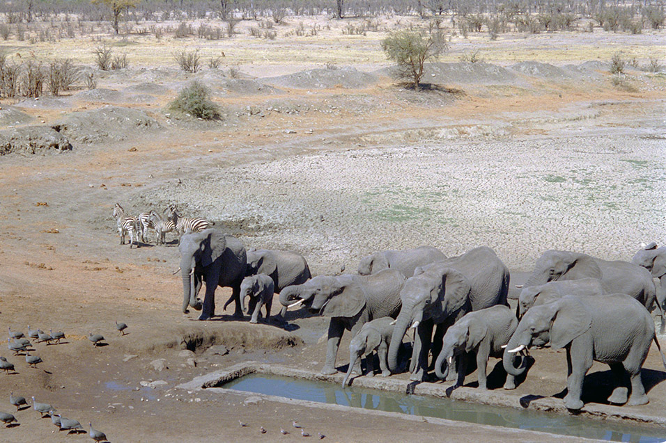 zimbabwe/hwange_water_hole_elephants_drinking_zebra_leaving